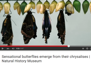 emerge butterfly
